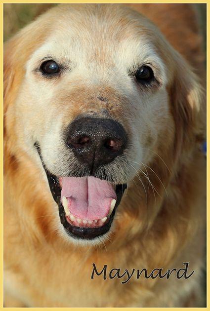 Adopted, Thank you!  Maynard needs a forever home, ASAP. Golden Retriever Rescue Resource-Golden Retrievers for adoption