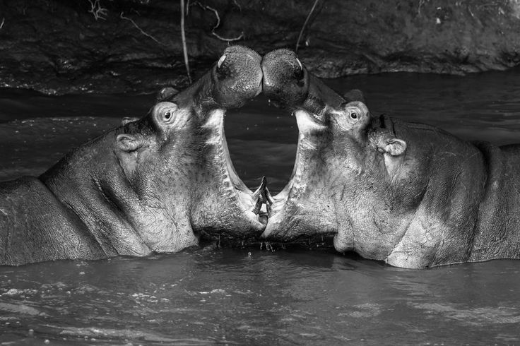 """This photo portraits two hippo """"teenagers"""" playing around in a hippo pool near Seronera (Serengeti National Park, Tanzania), preparing to challenge each other to a """"real"""" duel maybe in some years. You may ask yourself: Is this a simple Photoshop trick? No, it isn't. It was just the most symmetric picture out of a long photo burst series."""