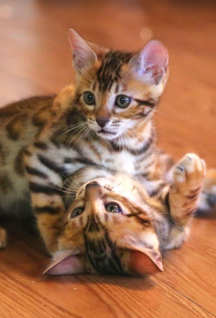 399 best Bengal Cats images on Pinterest | Kitty cats, Kittens and ...