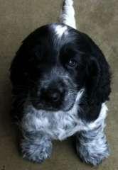 Blue roan registered female(Tasmania) | puppies for sale Burnie Tasmania | Cocker Spaniel (English) dogs for sale in Australia - http://www.pups4sale.com.au/dog-breed/410/Cocker-Spaniel-(English).html