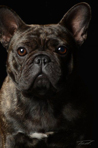 Fly - French Bulldog