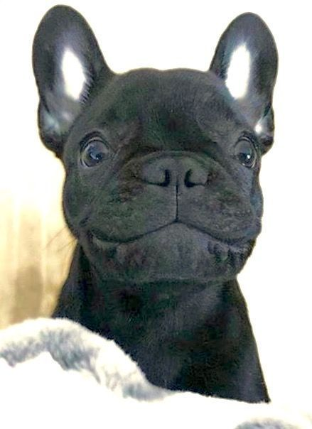 """Gimme a Smile!"", Adorable French Bulldog Puppy ❤️ #Buldog"