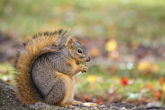 How To Cook Acorns Livestrong Com Fox Squirrel Squirrel North American Wildlife