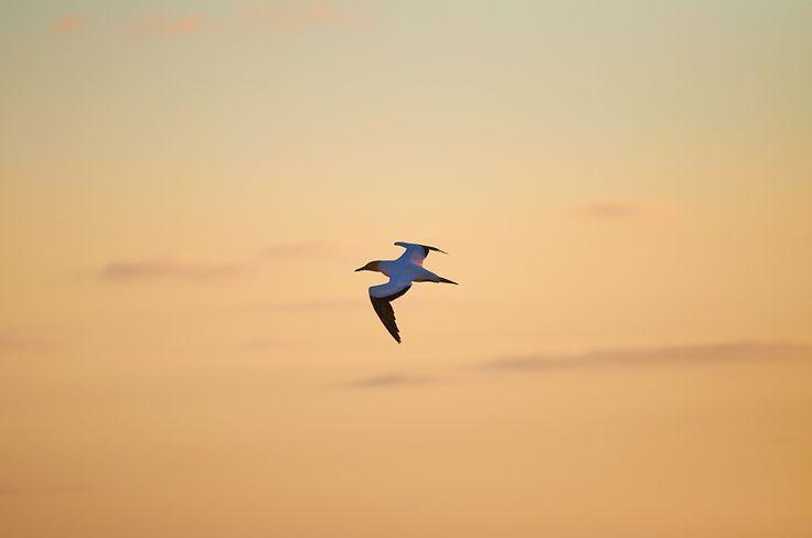 Gannet flying at Muriwai Beach, New Zealand.