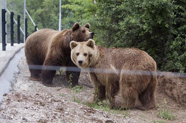 Um casal de ursos, Ari e Arina, foi resgatado depois de uma década de cativeiro em um zoológico ilegal perto de Pristina, capital do Kosovo - http://revistaepoca.globo.com//Sociedade/fotos/2013/05/fotos-do-dia-23-de-maio-de-2013.html (Foto: AP Photo/Visar Kryeziu)