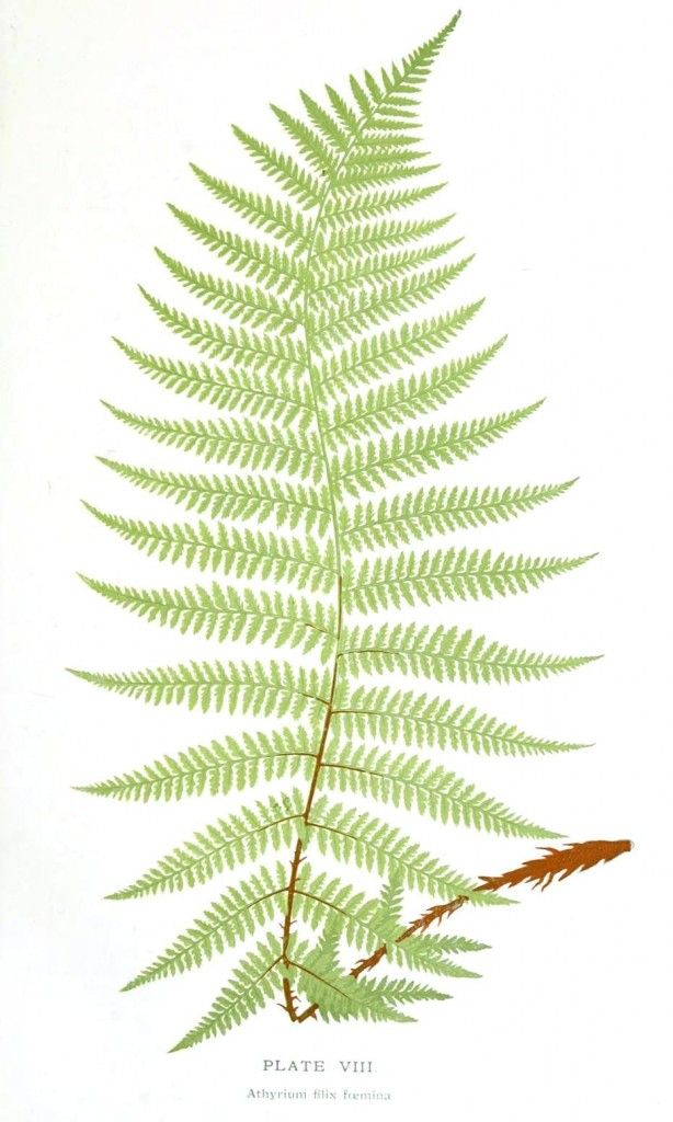 Botanical - Leaf - Fern, British Fern   (7)