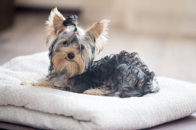 Efectos secundarios de la quimioterapia para perros
