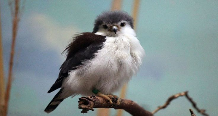 image source The pygmy falcon, or African pygmy falcon (Polihierax semitorquatus), is a falcon that lives in eastern and southern Africaand is the smallest raptor on the continent. As a small falcon, only 19...