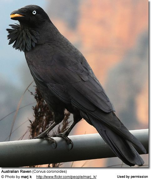 Australian Raven (Corvus coronoides) researched Only foreigners ever call them Ravens, we call them crows...ours has the most beautiful ice blue eyes, not black/ brown like the US ones