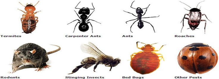 Pestige Solutions Pest Control Company provides integrated Pest Management Programs to suit your needs.  Our Pest Control Programs can be carried out on a fortnightly, monthly, bi monthly or quarterly service.  We tailor all of our Pest Control Services with non-toxic and low toxic procedures and products. We cover a range of pests which include: Cockroaches,German Cockroaches,Rodents (Rats, Mice) Bird Control Termite Bees/Wasps,Stored Product Pests,Flies Mosquitos
