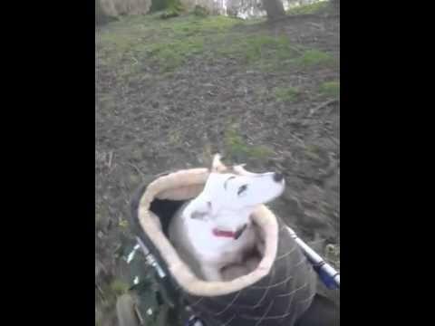 Una perrita ciega disfruta del paseo cargada por su amigo en silla de ruedas