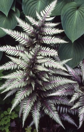 Japanese Painted Fern - love these....I have several!  They are very hardy and add a great pop of color to a shade garden.