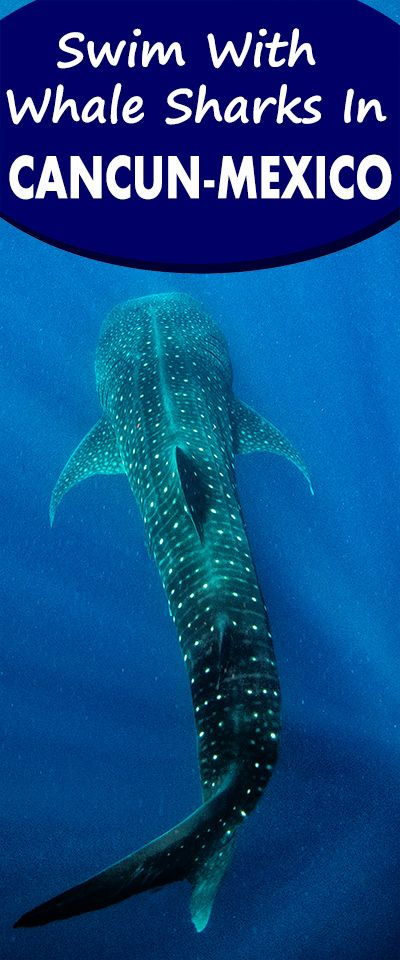 Swim with the world's largest fish off the coast of Cancun! These gentle giants will give you a truly unforgettable experience of a lifetime! http://www.escapingabroad.com/blog/swim-with-whale-sharks-mexico/