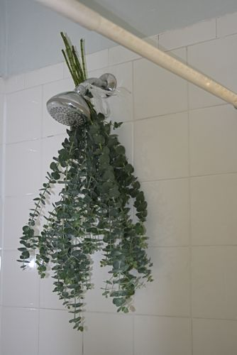 Another pinner said:Last winter, when I visited my sister who lived in Italy (I know, lucky!) their showerheads had fresh sprigs of Eucalyptus casually tied on. When you took a hot bath or shower, the steam made the fragrance amazing