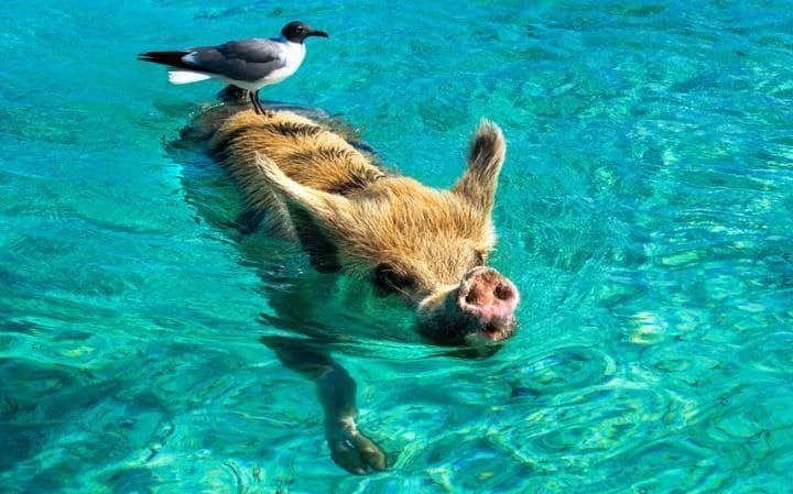 A seagull hitches a ride on a pig while it swims in the crystal blue sea off the coast of Bahamas. The secluded island of Big Major Cay is home to around 20 porky piggies and the island is affectionately referred to by locals as Pig Beach. Visitors Julie Zoney and Kyla Larsen from British Columbia, Canada were delighted by the charming pigs on their visit to the island.