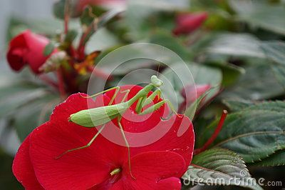 A praying mantis insect sitting on a flower petal. Macro shot taken in New Zealand with a Sony a3000.