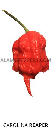Alamo Peppers - Bhut Jolokia and Super Hot Chile Peppers