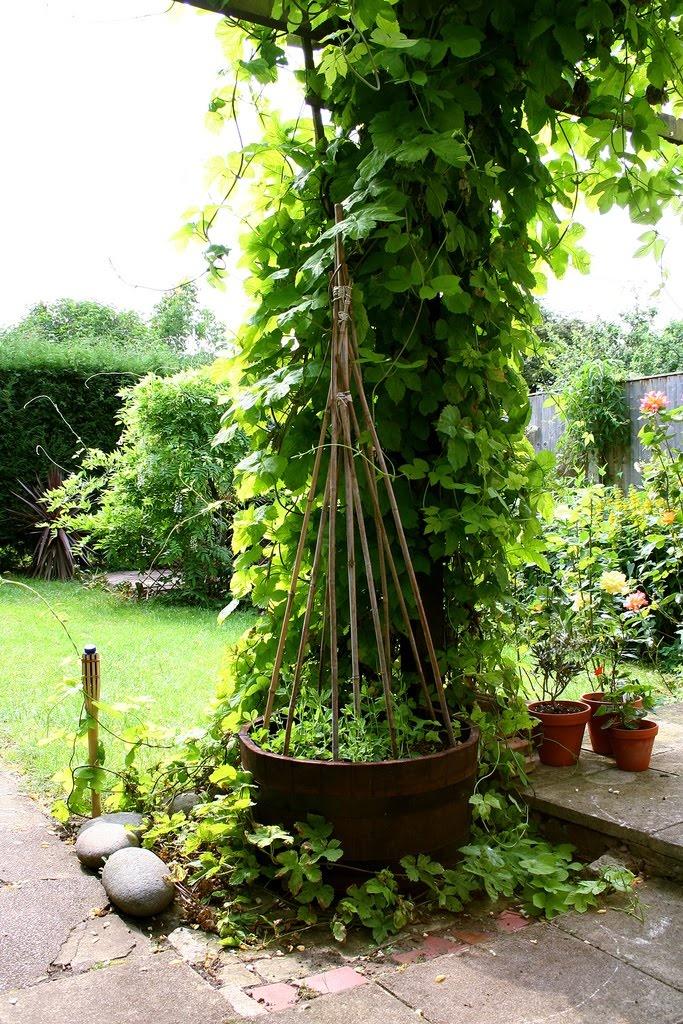 Best 25 pea trellis ideas on pinterest cucumber trellis for Hops garden designs