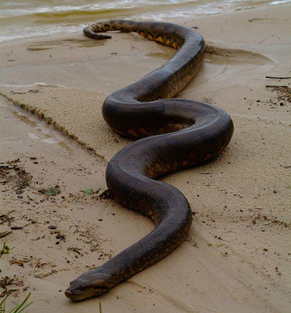 La Anaconda, la serpiente mas grande del mundo