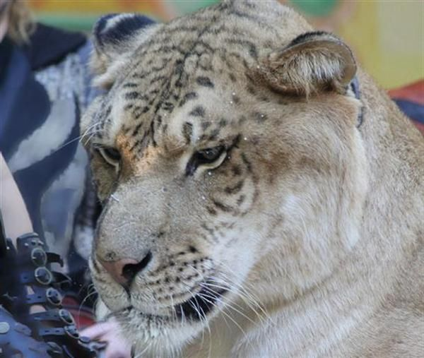 Liger Business on the rise in United States.