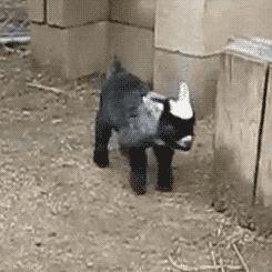 Quando um pequeno cabrito soluça