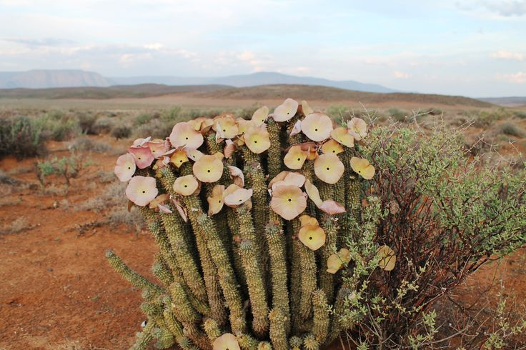Some of the vegetation at Tankwa National Park, South Africa