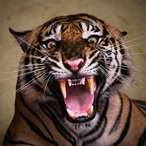 A Sumatran tiger  roars at photographer Syahrul Ramadan at Ragunan Zoo, in Jakarta, Indonesia