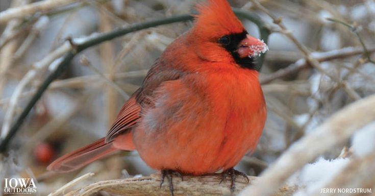 Why don't birds feet get cold in the winter?   Iowa Outdoors magazine