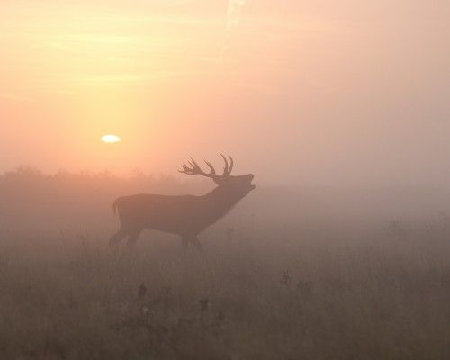 Misty morning stag by Greg Morgan