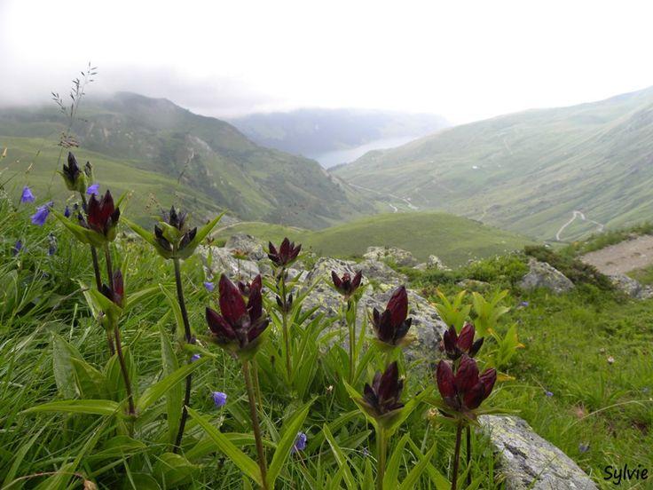 Gentianes pourpres / Chemin du lac de Presset / Beaufortain / Alpes