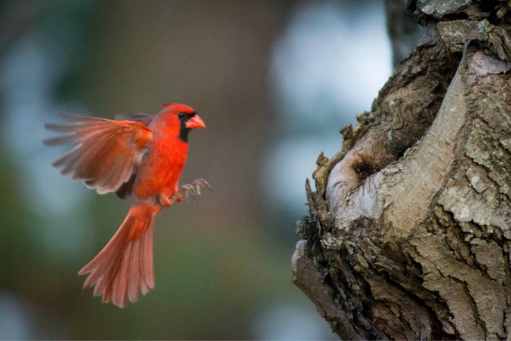 Seeing a Cardinal flying towards the sun is a sign of good luck.  He's taking a break before heading there.