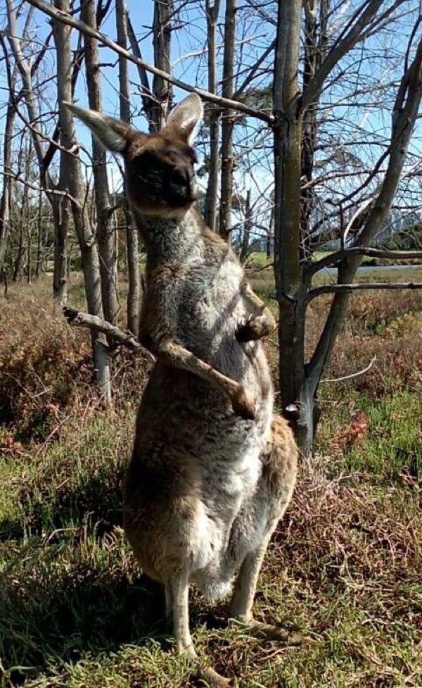 "Pas farouche ce kangourou ! - Carnet de voyage ""Australie"""