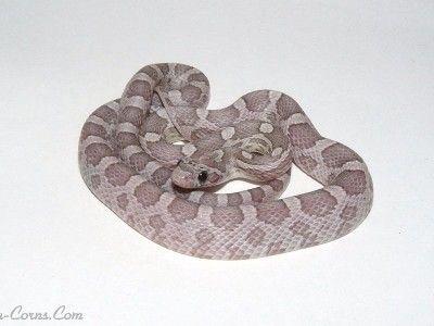 Ians Vivarium :: Anery Lavender Cornsnake
