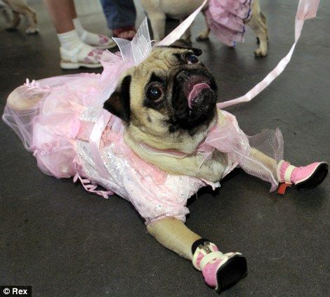 Too much? If you really want your pug to stand out (though perhaps at the expense of them being able to stand up) give them two extra legs