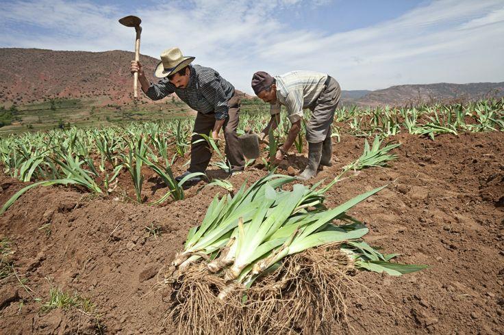 Kosatec #iris #farmers #Morocco #Africa #Weleda