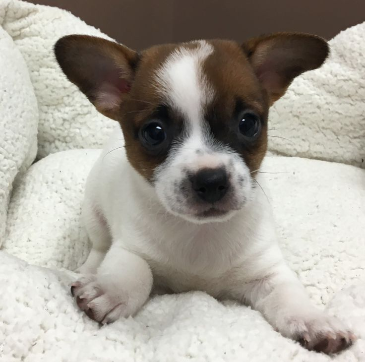 Pembroke Welsh Corgi dog for Adoption in Royal Palm Beach, FL. ADN-497176 on PuppyFinder.com Gender: Female. Age: