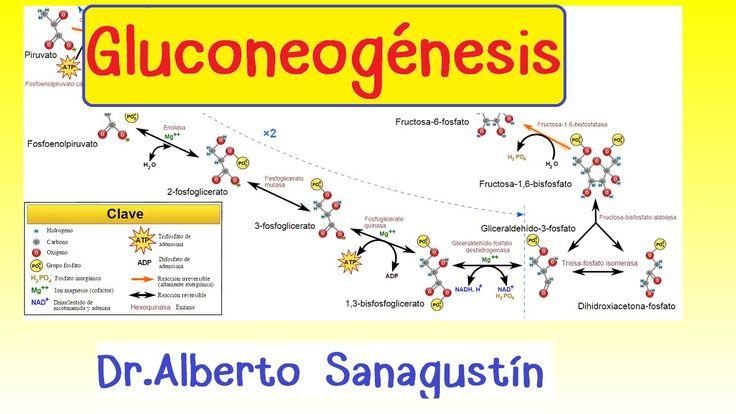Gluconeogénesis #bioquímica | Bioquímica | Pinterest | Watches