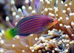 6 LINE WRASSE 2 INCHES marine fish SAFE with coral & frags LPS and SPS at Aquarist Classifieds