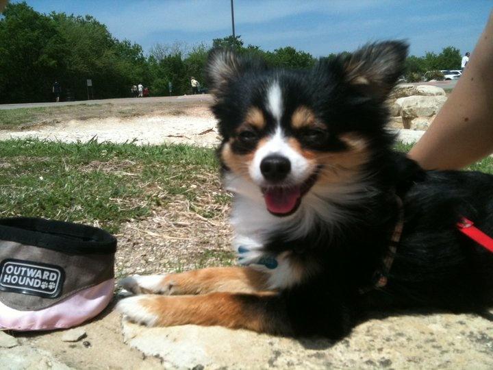 My Pawawa , Papillon Chihuahua mix , Chewy Bear Pets