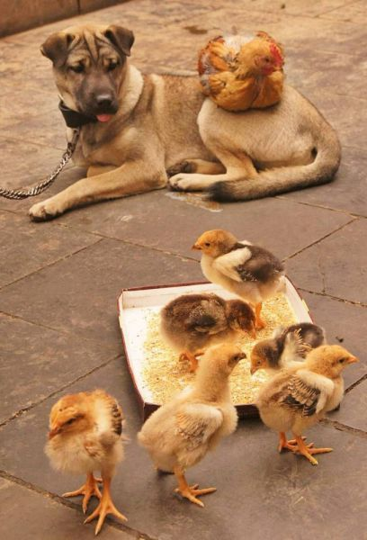 1 very patient dog and chickens