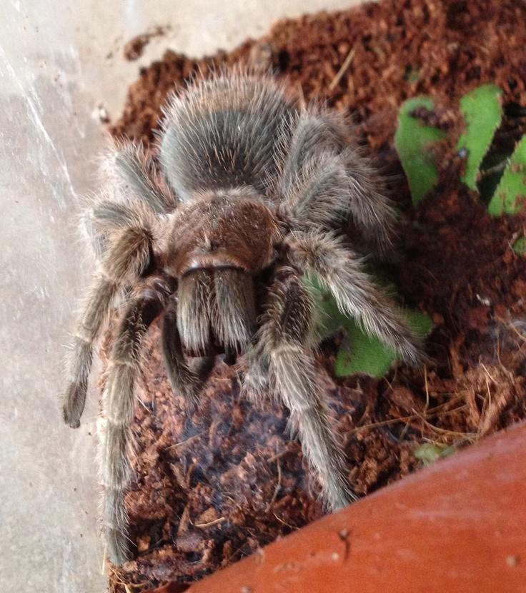 Rosalie, sub-adult Chilean Rose Tarantula. March 2013