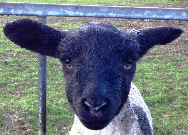 Spring lamb in the Lake District :-)