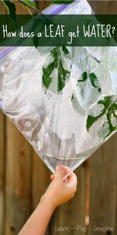 A simple demonstration for kids to learn how a leaf gets water from a tree.
