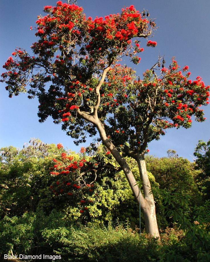 Alloxylon flammeum, commonly known as the Queensland tree waratah or red silky oak, is a medium-sized tree of the famly Proteacaea found in the Queensland tropical rainforests of north-eastern Australia