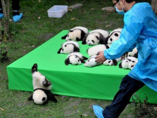 """*El oso panda deja de estar en la lista de animales en peligro de extinción* Chengdu ha advertido que pese a que el oso panda gigante ya no es una especie en peligro de extinción, sigue siendo """"vulnerable""""."""