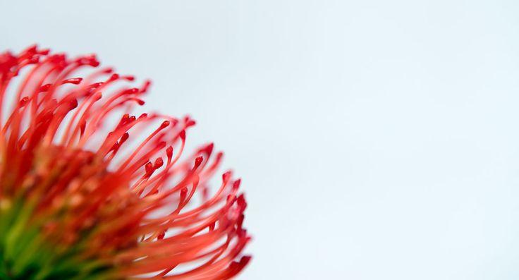 How to grow proteas