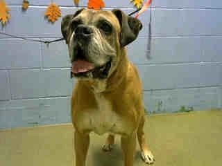 SHELTER UPDATE:  MUST EXIT BY TUESDAY 1/23/18  DYLAN #A481197 (Moreno Valley CA) Male fawn and white Boxer. The shelter thinks I am about 10 years old I have been at the shelter since Jan 03 2018 and I may be available for adoption on Jan 11 2018 at 10:00AM  http://ift.tt/2DiQnVL  Moreno Valley Animal Shelter 14041 Elsworth Street Moreno Valley CA 951-413-3790 GENERAL INFO: Animalshelter@moval.org RESCUES EMAIL: rescue@moval.org Open Tuesday -Saturday (closed Sunday Monday & holidays)…