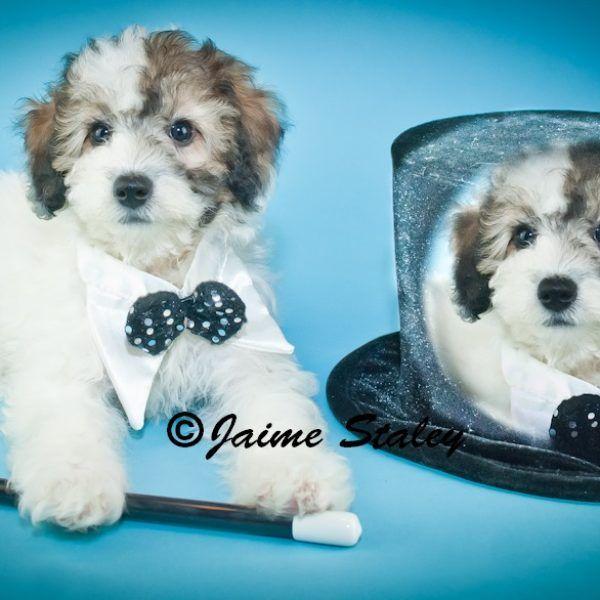 RamBo male mini Poodle boy 800.00DSC_0985