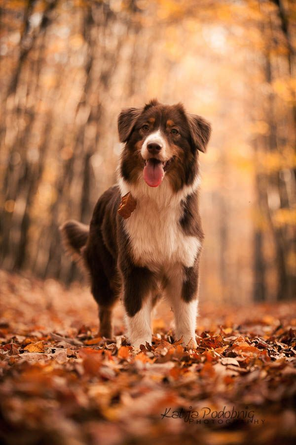The Australian Shepherd: My Aussie has been such a loyal and protective companion, my family has had him all his life and our little old man is still so young at heart. :)