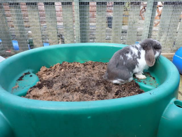 Put in a digging pit for rabbits. Nothing fancy. Just a tub filled with soil so that they can dig to their heart's desires. This may curb their desire to dig their way out of the rabbit run. #rabbits